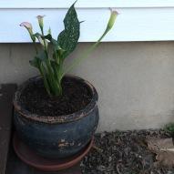 Anniversary lilies.